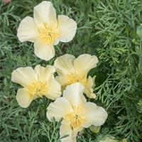California Poppy 'Milkmaid'
