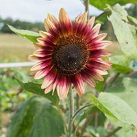 Sunflower 'Gypsy Charmer'