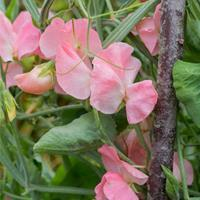 Sweet Pea 'Spring Sunshine Peach'