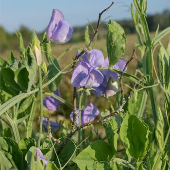 Sweet Pea 'Flora Norton'