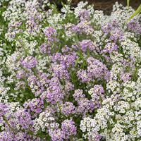 Sweet Alyssum 'Paletta Mix'