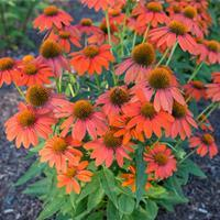 Coneflower Sombrero® 'Adobe Orange'
