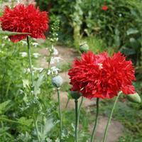 Poppy 'Feathered Scarlet'