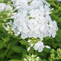 Phlox Peacock™ 'White'