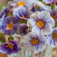 Primrose 'Striped Victorians'