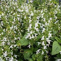 Salvia - Texas Sage 'Hummingbird Snow Nymph'