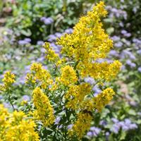 Goldenrod - Showy