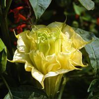 Datura 'Ballerina Yellow'