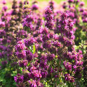 Bee Balm 'Bergamo'