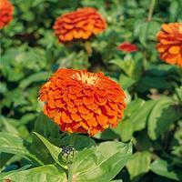 Zinnia 'Benary's Giant Orange'