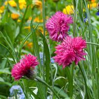 Cornflower 'Red Boy'