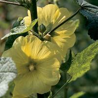 Hollyhock - Rugose Organic