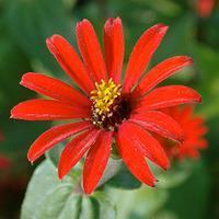Zinnia 'Red Spider' Organic