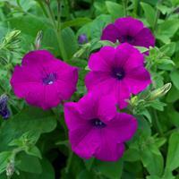Petunia integrifolia Organic