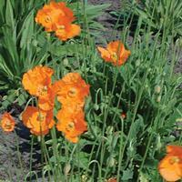 Poppy - Spanish Organic