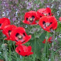 Poppy 'Ladybird'