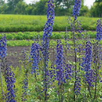Delphinium 'Bee Larkspur' Organic