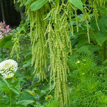 Amaranth 'Green Cascade'