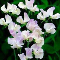 Sweet Pea 'More Scent'