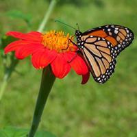 Sunflower - Mexican 'Torch' Organic