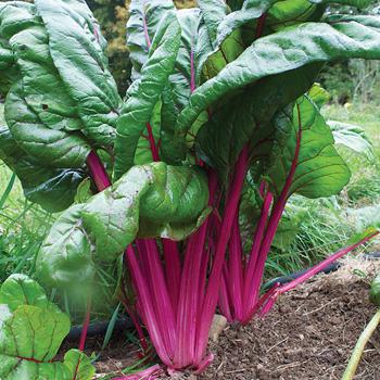 Chard 'Pink Passion' Organic