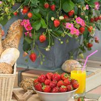 Strawberry 'Toscana' F1