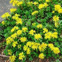 Sedum 'Weihenstephaner Gold'