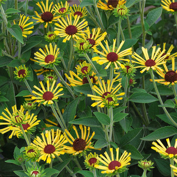 Rudbeckia 'Little Henry'