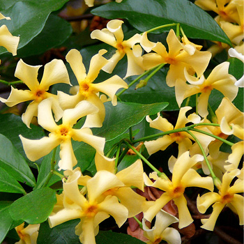 Jasmine - Star 'Star of Tuscane'
