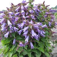 Bellflower 'Viking'