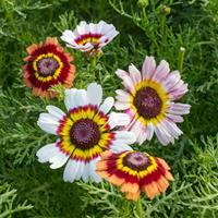 Painted Daisy 'Court Jester Mix'