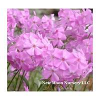 Phlox - Smooth 'Morris Berd