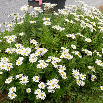 Nipponanthemum - Montauk Daisy