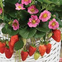 Strawberry 'Gasana' F1