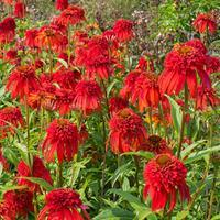 Coneflower 'Hot Papaya'