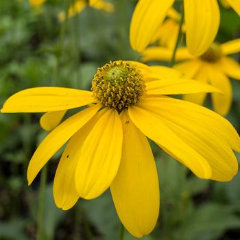 Rudbeckia 'Autumn Sun' or 'Herbstonne'