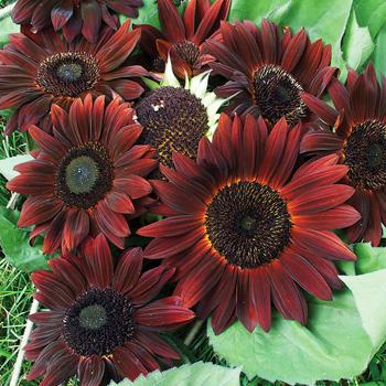 Sunflower 'Claret' F1