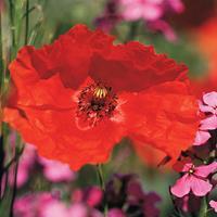 Poppy - Corn 'Flander's Poppy'