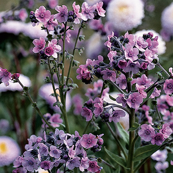 Chinese Forget Me Not 'Mystery Rose'