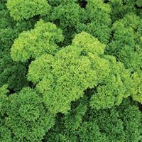 Parsley 'Moss Curled' Organic