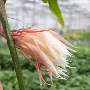 Night Blooming Cereus 'Mark Twain'