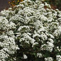 White Snakeroot 'Chocolate'