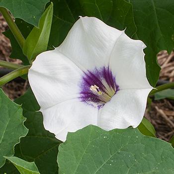 Datura 'Desert Thorn Apple' Organic