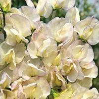 Sweet Pea 'Spencer Old Times'