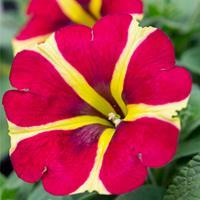 Petunia Amore™ 'Queen of Hearts'