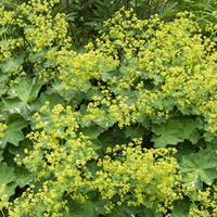 Lady's Mantle 'Robustica'