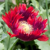 Poppy 'Jimi's Flag Mix' Organic