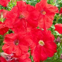 Petunia 'Fire Chief'