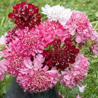 Sweet Scabious 'Summer Fruits'
