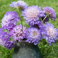 Sweet Scabious 'Blue Cockade'